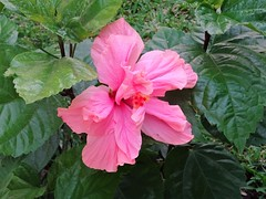 Tropical Beauty (knightbefore_99) Tags: mexico mexican cool oaxaca tropical nice west coast dreams awesome best flower flor fleur beauty pink art great