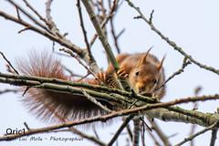 You talkin' to me? - Explored (Oric1) Tags: breizh france eos oric1 squirrel côtesdarmor roux jeanlucmolle canon écureuil 22 bretagne brittany armorique red nature wildlife
