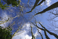 Above me blue and white (Sundornvic) Tags: sky trees woods winter branches trunks forest leaves clouds light pentaxart abbeywoods pentax k70