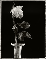 Three Year Old Desiccated Rose (fotographis) Tags: rose dryflower desiccated polaroid instantfilm fuji fp3000b blackwhite blackandwhite flower vase bud linhof tecnikardan 210mmnikkorw nikkor black instax peelapart largeformat viewcamera 4x5
