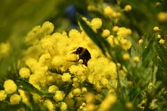 DSC_7424 (griecocathy) Tags: macro mimosa abeille fleurs feuille insecte jaune vert