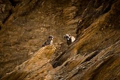 Baboons (HansenBenHansen) Tags: hoanib wüstenelefanten bärenpavian pavian baboon africa afrika namibia sony sonyalpha7ii sonya7ii a7ii a7 alpha7ii alpha7 sony⍺7markii ⍺7ii ⍺7 sony⍺7 desert elephants hoanibvally sonyalpha7 ilce7 emount fullframe tamron150600 7ii ⍺7markii ilce7ii sony⍺7ii animals tiere wildlife nature natur ilce vollformat sigmamountconvertermc11 canonefsonyemount
