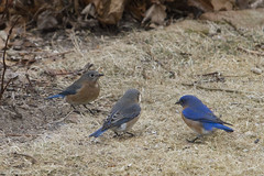 Bluebird Trio (brucetopher) Tags: bluebird easternbluebird sialiasialis blue striking colorful indigo small little bird birds birding birdwatching watch watching avian animal wild wildlife newengland newenglandbirds thrush birdfeeder feeder feeding feed suet seeds eat nature natural