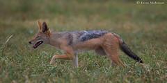 On the prowl (leendert3) Tags: leonmolenaar southafrica krugernationalpark wildlife nature mammals blackbackedjackal ngc coth5