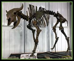 Skelett des amerikanischen Präriebisons (Bos bison bison) (LOMO56) Tags: bison büffel wildrinder grosesäugetiere bosbisonbison bisonbison präriebisons prähistorischeskelette fossilienskelette
