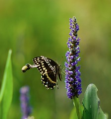 At Work (The Vintage Lens) Tags: butterfly bee flower stama nature bokeh green flowers