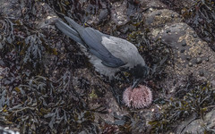 Street Urchin (davidrhall1234) Tags: hoodedcrowcorvuscornixalsocalledhoodie hoodedcrowcorvuscornix hoodedcrow crow corvid scotland oban birds birdsofbritain bird beak coastal coast feather nature nikon outdoors hungry shore shoreline sea seaurchin world wildlife