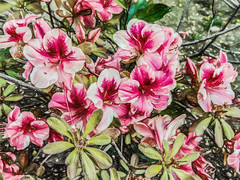 Lazin' In The Garden (p) (davidseibold) Tags: america backyard bakersfield california garden jfflickr kerncounty nature photosbydavid plant platoct postedonfb postedonflickr unitedstates usa wildflower