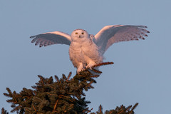 Snowy Owl Victory Dance ... (NicoleW0000) Tags: snowyowl wildowl owl birdofprey bird pose tree wingsup wings flight winter birdphotography nature wildlife wild wildlifephotography ontario
