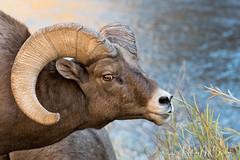 _0HM2861 (Hilary Bralove) Tags: rockymountains ram bighornsheep bighorn colorado wildlife animals wild nature outdoors