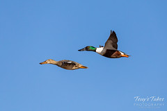 March 9, 2019 - Northern shovelers in flight over the South Platte River. (Tony's Takes)