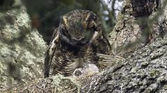 Two Great Horned Owlets with Mom (Bob Gunderson) Tags: bisonpaddock california goldengatepark northerncalifornia sanfrancisco owls greathornedowl bubovirginianus
