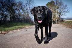Hello Spring (uwe.kast) Tags: labrador labradorretriever labradorredriver hund haustier dog bichou panasonic lumix g9