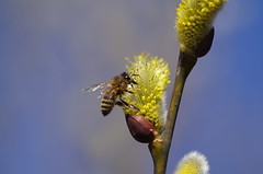 Working class hero (Baubec Izzet) Tags: baubecizzet pentax bokeh bee spring nature