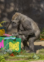 Joanne's 5th Birthday (San Diego Zoo Global) Tags: gorillas gorilla sandiegozoo zoo zooanimals cuteanimals cuteanimal wildlife nature animals cute cuddly fluffy adorable sandiego safaripark conservation environment happy fun funny primates primate gorillatroop birthday