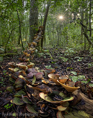 Mushroom Log Sunrise Sparkle (Panorama Paul) Tags: paulbruinsphotography wwwpaulbruinscoza southafrica southerncape gardenroute knysnaforest indigenousforests woodcutterstrail circlesinaforest mushrooms sunstar nikond850 nikkorlenses nikfilters