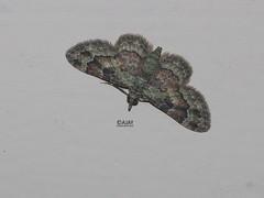 Geometridae, Larentiinae, Eupitheciini - Gymnoscelis sp. - Pug moth (ajaylives) Tags: moth geometridae larentiinae kongad