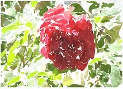 Hilf Gott, dass mirs gelinge (amras_de) Tags: rose rosen ruža rosa ruže rozo roos arrosa ruusut rós rózsa rože rozes rozen roser róza trandafir vrtnica rossläktet gül blüte blume flor cvijet kvet blomst flower floro õis lore kukka fleur bláth virág blóm fiore flos žiedas zieds bloem blome kwiat floare ciuri flouer cvet blomma çiçek zeichnung dibuix kresba tegning drawing desegnajo dibujo piirustus dessin crtež rajz teikning disegno adumbratio zimejums tekening tegnekunst rysunek desenho desen risba teckning çizim