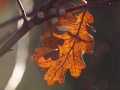 Goldenes Blatt (photohml) Tags: eichenblatt leaf blatt laub gold colorful lichtundschatten lightandshadow olympus zuiko e620 70300 2019 herbstlich autumnal