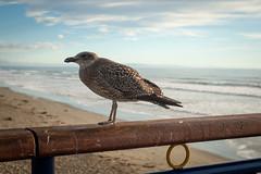 Juvenile Black-backed Gull (johnstewartnz) Tags: newbrighton newbrightonbeach canon canonapsh apsh eos 1dmarkiii 1d3 1dmark3 1d 1dmkiii 1dmk3 1diii 100canon 1740mm 1740 ef1740mmf4lusm pier newbrightonpier gull blackbackedgull