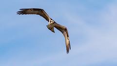 Osprey (Gary R Rogers) Tags: bird hunting blue osprey flight shky