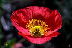 Poppy flower (Orlando Mouchel) Tags: fleur amandier flower almond blume mandel fiore mandorla flor almendra amêndoa زهرة لوز цветок миндальный 花 杏仁 アーモンド macro plante