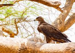 4-tawnyeagle-5131 (h.redpoll) Tags: fullcrop murchisonfallsnationalpark tawnyeagle uganda