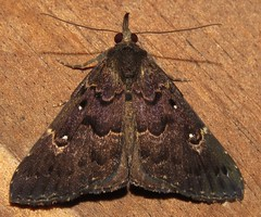 Hypena peruvialis (Birdernaturalist) Tags: costarica erebidae hypeninae lepidoptera moth richhoyer