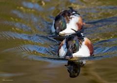 Löffelenten (wernerlohmanns) Tags: wasservögel entenvögel enten löffelente outdoor natur nikond750 d750 sigma150600c schärfentiefe deutschland