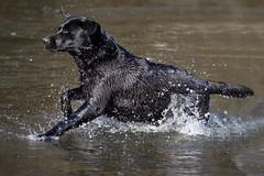 water fun (uwe.kast) Tags: labrador labradorretriever labradorredriver hund haustier dog bichou wasser water fun panasonic lumix g9 100300