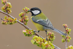Cinciallegra (mauro.santucci) Tags: cinciallegra parusmajor passeriforme uccelli uccello bird avifauna natura birdwatching wildlife wild