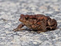 Common Toad (xrxss15) Tags: amphibians amphibien animalia animals bufobufo bufonidae commoneuropeantoad commontoad erdkröte estland estonia europe europeantoad kröten lääne rannaküla tiere toads truetoads