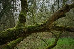Im Oberwald (nordelch61) Tags: deutschland hessen heimat darmstadt oberwald totholz moos stamm äste zweige frisches grün wald frühling spring forest trees fairytale enchanted