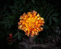 Tagetes sp. (N3ptun0) Tags: angiospermae angiosperms asteraceae asterales asterids botanicalgarden fairchildtropicalbotanicgarden floweringplant magnoliophyta nature park plant plantae tagetes