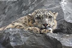Snowleopard - Pairi Daiza (Mandenno photography) Tags: animal animals dierenpark dierentuin dieren bigcat big cat belgie belgium cats snow leopard snowleopard pairidaiza pairi daiza