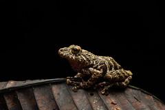 Sumaco Tree Frog (worm600) Tags: ecuador animal sumaco wildsumaco frog treefrog