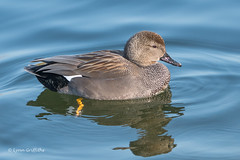 Gadwall 501_7537.jpg (Mobile Lynn) Tags: wildfowl nature birds ducks gadwall anasstrepera anseriformes bird duck fauna wildlife estuaries freshwater lagoons lakes marshes ponds waterbird waterfowl webbedfeet hurst england unitedkingdom gb