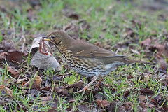song thrush (DODO 1959) Tags: wildlife songthrush nature animal outdoor fauna avian birds feeding wales glamorgan neath gnoll grounds olympus omdem1mk2 300mmf4 micro43