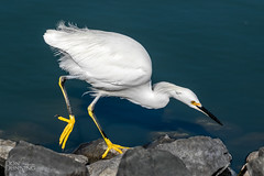 Snowy Egret At Work (Don Dunning) Tags: animals birds california canon7dmarkii canonef100400mmisiiusm egrettathula lasgallinaswetlands sanrafael snowyegret unitedstates water