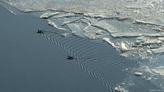 Edge of the Ice (Patches Photo) Tags: ice river frozen bird waterfowl ripple wave wake swim swimming winter frost cold