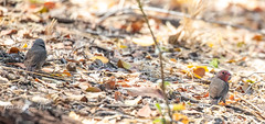 Firefinch Brown (michael heyns) Tags: bird brownfirefinch 2018 waxbillsmuniasandallies xaro estrildidae lagonostictanitidula okavango northwestdistrict botswana bw