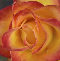 Orange Rose (papajoesm) Tags: rose orange red calfornia january bloom spring santabarbara solvang