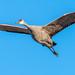 Flight of the sandhill crane