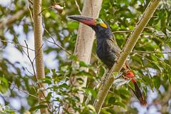 Suriname20180224_5770 (Wildlife and Landscape Photography) Tags: toucan toekan tukan bird birdsofsuriname wildlife vogelsvansuriname