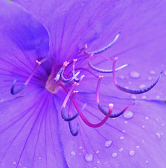 Dew- the inside of a flower (kirsten.eide) Tags: macrounlimited macrodreams dslr 1855mm beauty purple color d3300 nikon gardens rain dew spring flower zoom petals