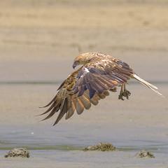 buckley's hole - whistling kite (Fat Burns ☮) Tags: whistlingkite haliastursphenurus kite raptor bird australianbird fauna australianfauna hawk nikond500 nature wildlife australianwildlife nikon200500mmf56eedvr buckleyshole bribieisland queensland australia