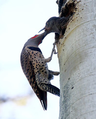 Northern Flicker with Chicks -- Male (Colaptes chrysoides); Santa Fe National Forest, NM, Thompson Ridge [Lou Feltz] (deserttoad) Tags: nature newmexico bird wildbird songbird nationalforest woodpecker aspen nest chicks young tree flicker mountain