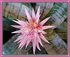 Exotic Pink (bigbrowneyez) Tags: exotic gorgeous fabulous striking macro stunning beauty beautiful splendid spray star shiningstar stella blossom petals delightful detailed lovely pink pinkbeauty fantastic elegant bello bellissimo ottawa elgin canada feb nature natura frame cornice exoticpink hypnotic magical flickrmagic