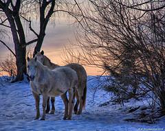 Gray Horses, Hagerstown MD (PhotosToArtByMike) Tags: horses grayhorses horse hagerstownmaryland snow digitalpainting digitalart sunset farm barn rural washingtoncounty maryland md cityofhagerstown painting photopainting westernmaryland appalachianmountains hagerstown