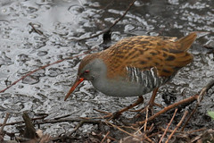 Water rail (ctrolleneos) Tags: canon80d 100400 waterrail titchwell rspb norfolk